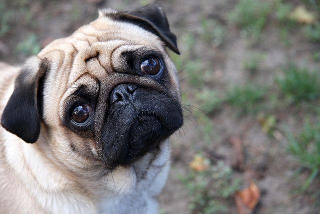 http://citydogexpert.com/wp-content/uploads/2015/06/640px-Sad-pug.jpg