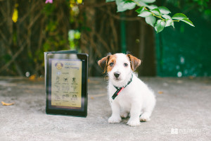 Jet the Jack Russell with Sound Proof Puppy Training App  www.twoguineapigs.com.au