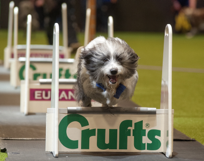 Picture shows Flyball Team Quarter Finals (Thursday 05.03.15), the first day of Crufts 2015, at the NEC Birmingham.