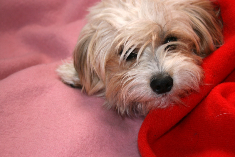 dog-in-blankets-1375474