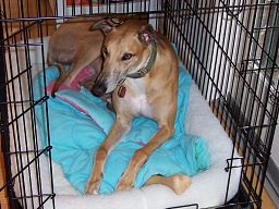 http://citydogexpert.com/wp-content/uploads/2016/11/Greyhound_in_dog_crate.jpg