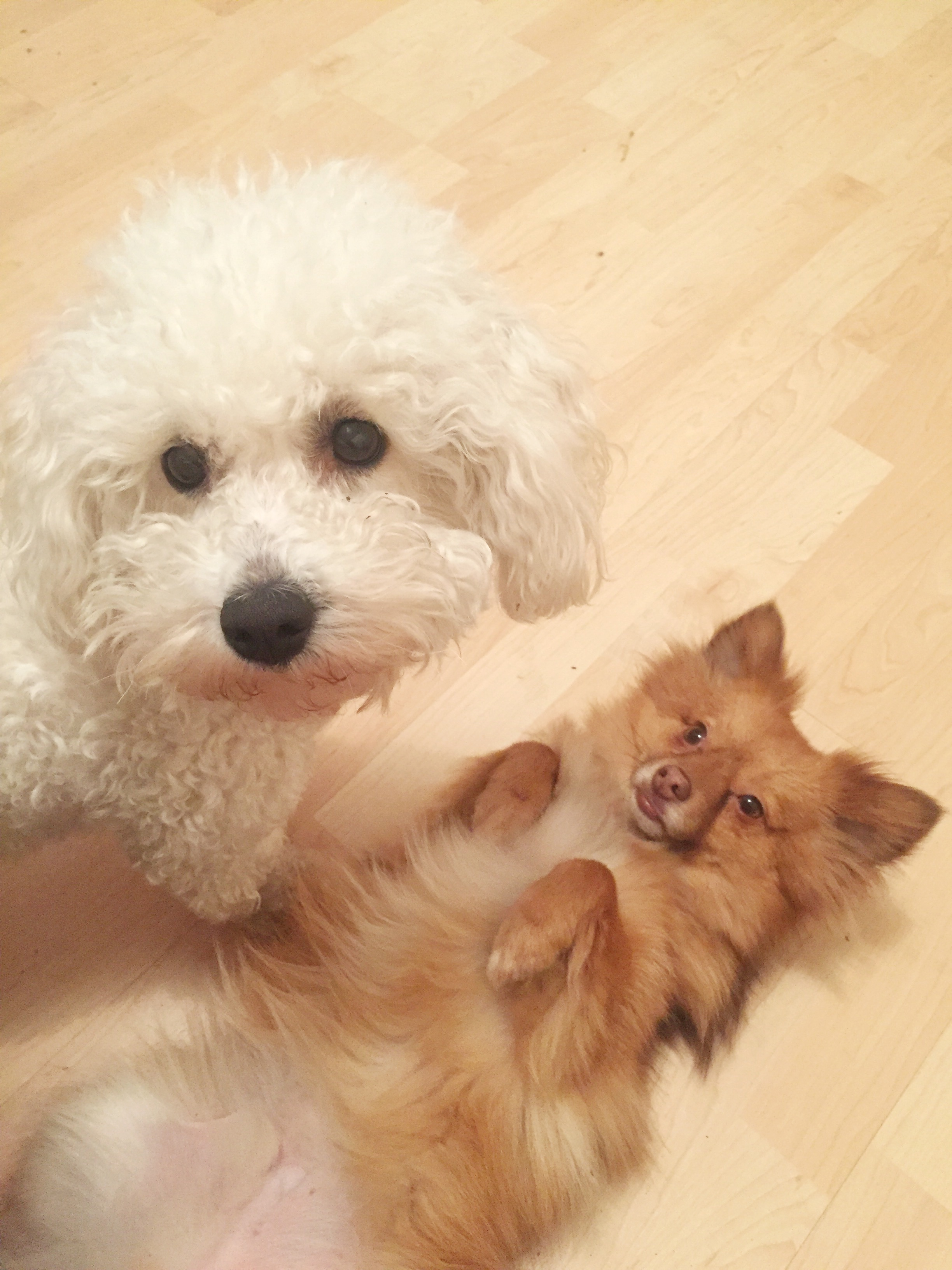 rescue maltese and pomeranian