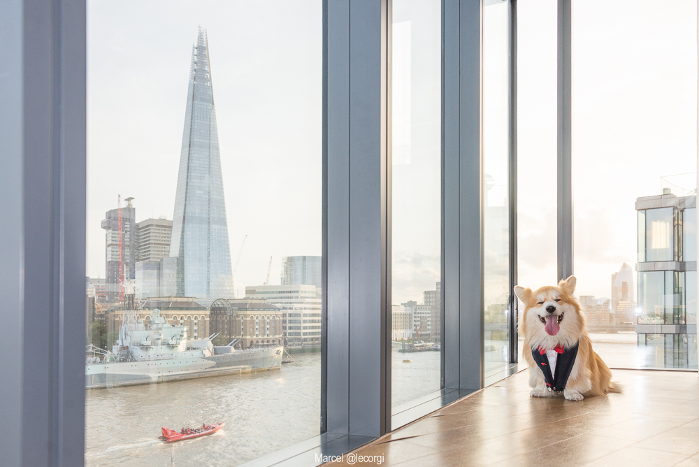Marcel the Corgi dog overlooking a view of London including The Shard