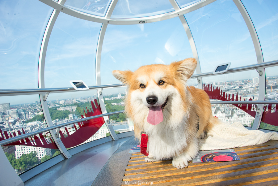 Marcel Le Corgi in the London Eye