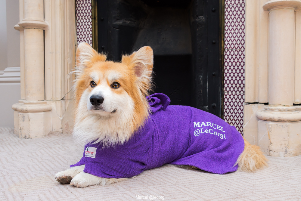 Marcel the Corgi wearing a dog drying robe