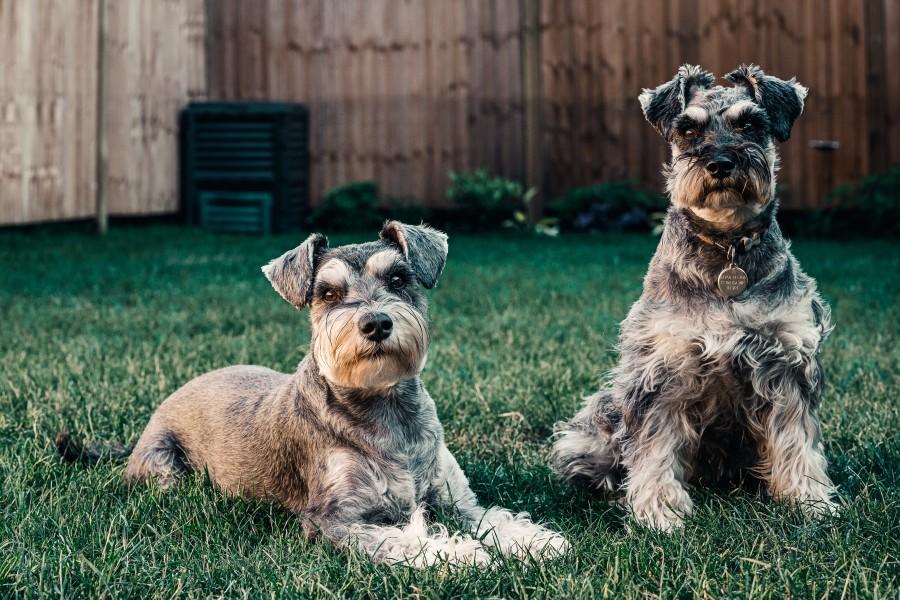 2 schnauzer dogs sitting in the grass