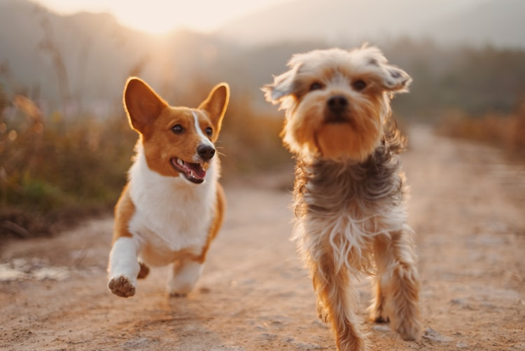 2 dogs running in the sunshine